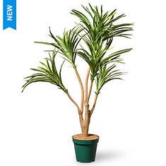 National Tree Company 3' Potted Dracaena Plant