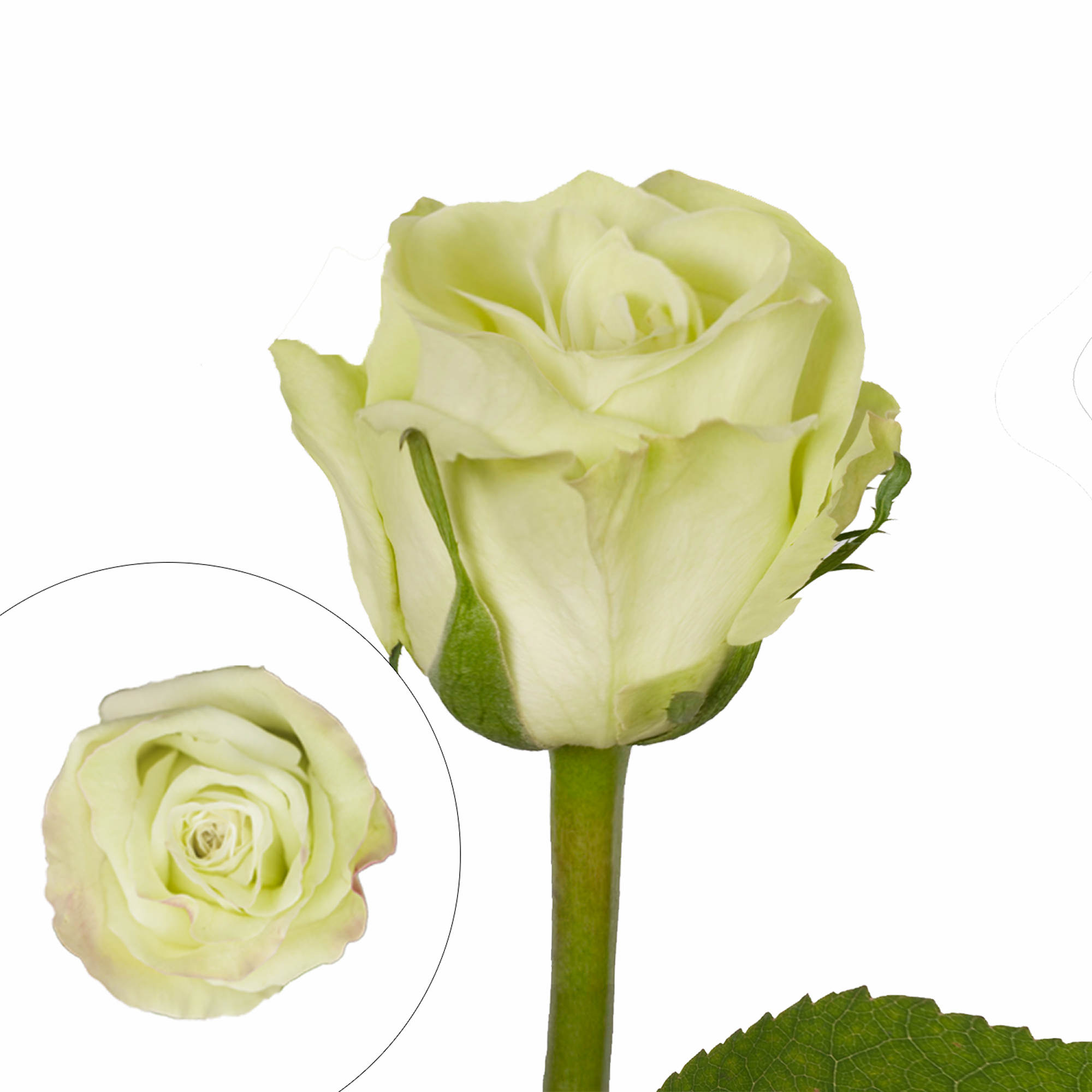 Rainforest Alliance Certified Roses, 50 Stems - Green