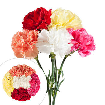 Carnations, 200 ct. - Assorted