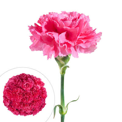 Carnations, 200 Stems - Hot Pink