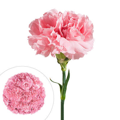 Carnations, 200 Stems - Pink