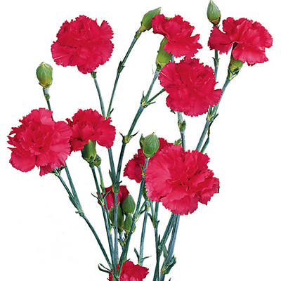 Mini Carnations, 20 Bunches - Hot Pink