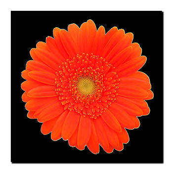 "Orange Gerber Daisy Gallery-Wrapped Giclee Print, 18"" x 18"""