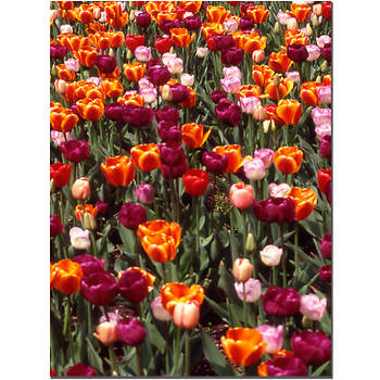 "Multi-Colored Tulips by Kurt Shaffer Gallery-Wrapped Giclee Print, 32"" x 24"""