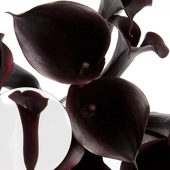 Mini Calla Lilies, 100 Stems - Black