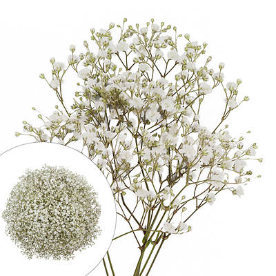 Gypsophilia/Baby's Breath, 100 Stems - White