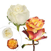 Rainforest Alliance Certified Bicolor Roses, 125 Stems - Yellow/White