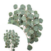 InBloom Silver Dollar Eucalyptus, 40 Stems