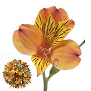 InBloom Alstroemeria, 120 Stems - Orange