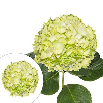 Hydrangeas, 30 Stems - Lime Green