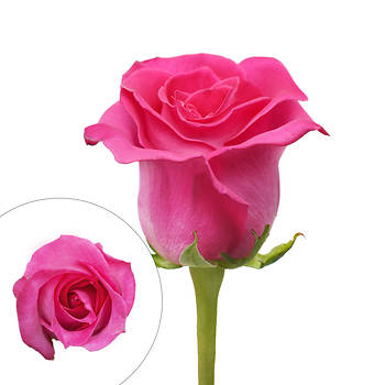 Rainforest Alliance Certified Roses, 50 Stems - Hot Pink