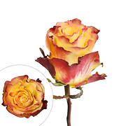 Rainforest Alliance Certified Bicolor Roses, 50 Stems - Yellow/Red