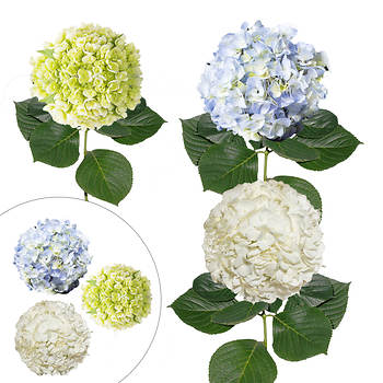 Hydrangea Combo Pack, 30 Stems - Assorted