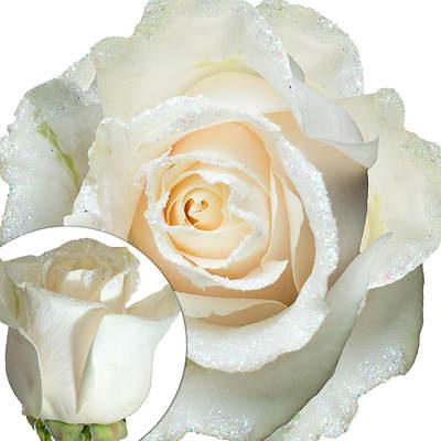 White Glitter Rose, 100 Count - Iridescent