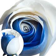 Tinted Rose, 100 ct. - Blue/White
