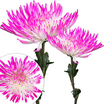 Painted Spider Mums, 100 ct. - White/Hot Pink