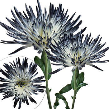Painted Spider Mums, 100 ct. - White/Black