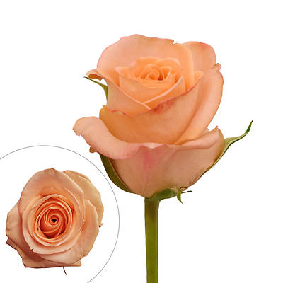 Rainforest Alliance Certified Roses, 100 Stems - Peach