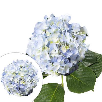 Hydrangeas, 30 Stems - Blue