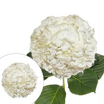 Jumbo Hydrangeas, 12 Stems - White
