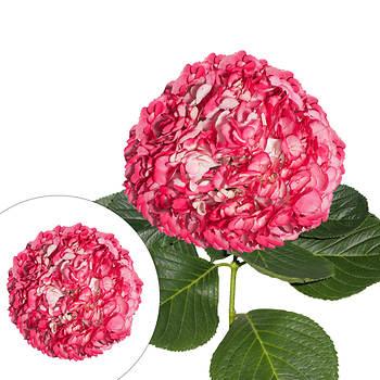 Hydrangeas, 26 Stems - Pink