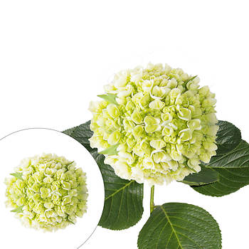 Mini Hydrangeas, 40 Stems - Green