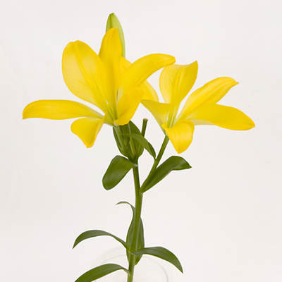 Rainforest Alliance Asiatic Lilies, 60 Stems - Yellow