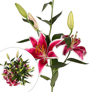 Rainforest Alliance Starfighter Oriental Lilies, 60 Stems - Pink
