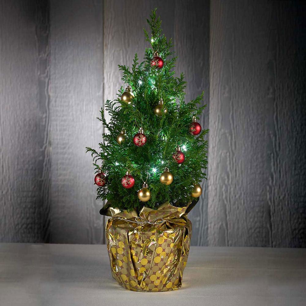 live tabletop christmas tree - Live Tabletop Christmas Trees