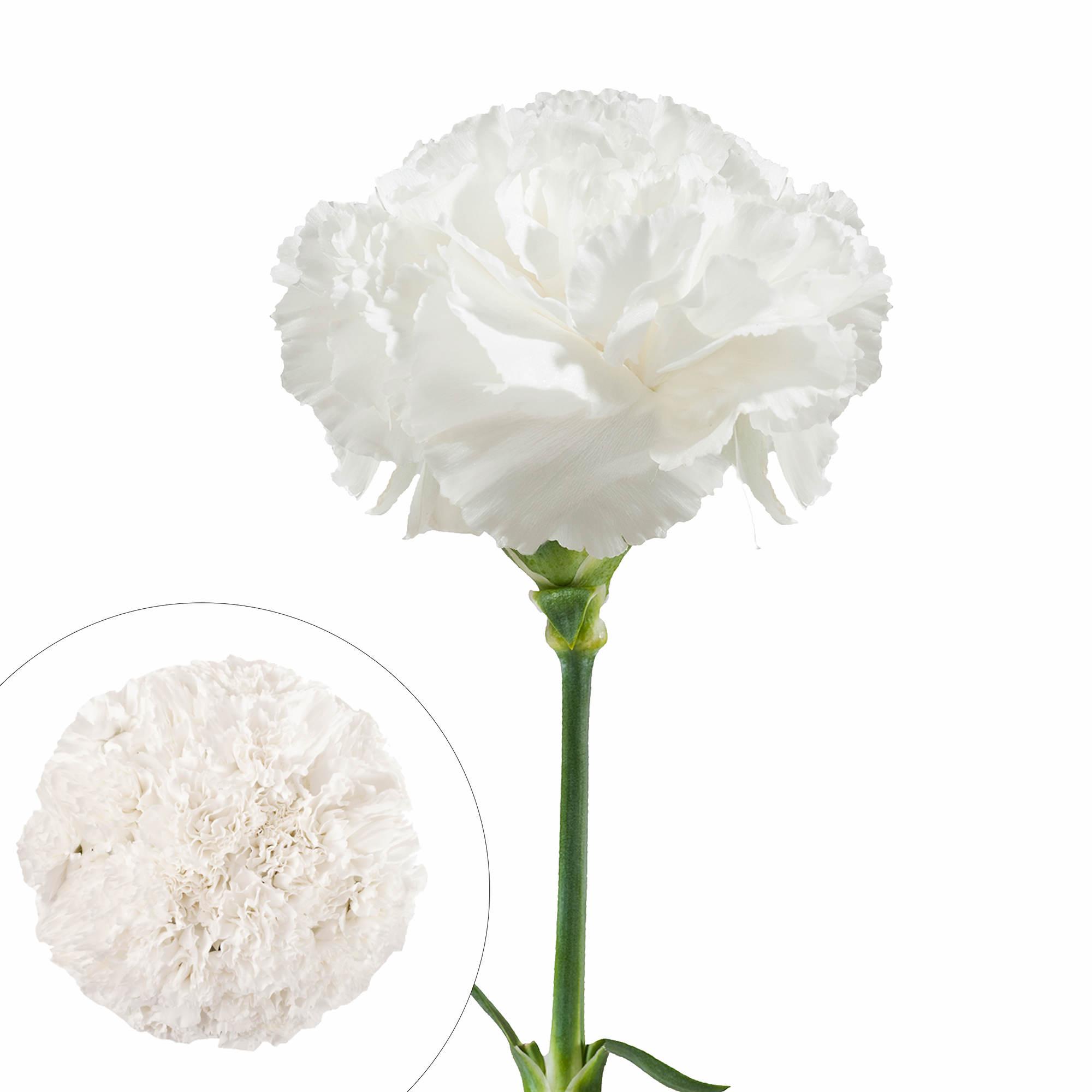 Carnations 200 Ct White Bjs Wholesale Club