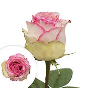 Rainforest Alliance Certified Roses, 125 Stems, Bicolor White-Pink/Whi