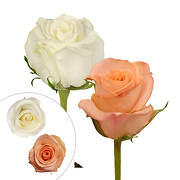 Rainforest Alliance Certified Roses, 125 Stems - Peach/White