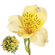 InBloom Alstroemeria, 120 Stems - Yellow