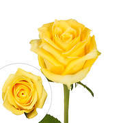 Rainforest Alliance Certified Roses, 50 Stems - Yellow