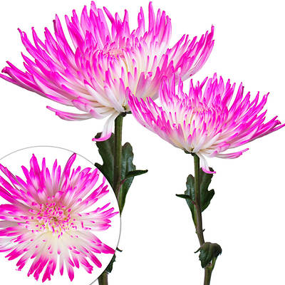 Inbloom Painted Spider Mums, 100 Ct. - White/hot Pink
