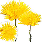Painted Spider Mums, 100 ct. - Yellow