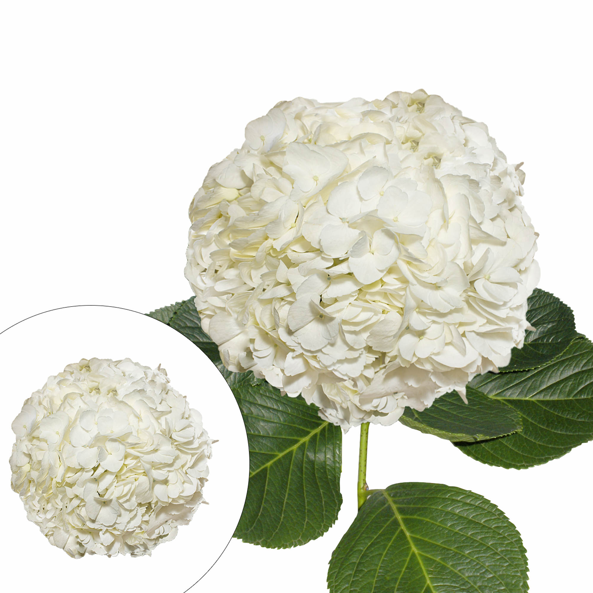 Hydrangeas 30 Stems White Bjs Wholesale Club